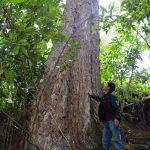Mách bạn loại gỗ quý từ cây giáng hương