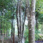 Cần mua cây giáng hương công trình