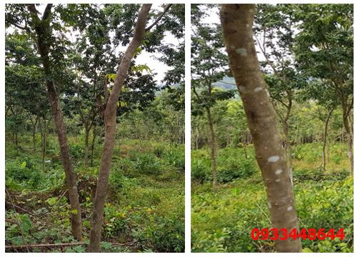 Cây sưa đỏ- cây công trình giá bạc tỷ