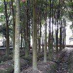 Bán cây sala ở Hà Nội