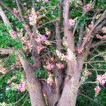 Mua bán cây sala ( cây thala, vô ưu, ngọc kỳ lân )