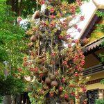 Mua cây sala ở đâu tại Tây Ninh, Bình Phước