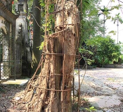 thân cây sưa đỏ
